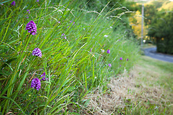 Showing where a roadside verge has been cut and so damaged an orchid population. Pyramidal Orchid. Anacamptis pyramidalis