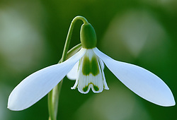 Galanthus 'Armine' - snowdrop