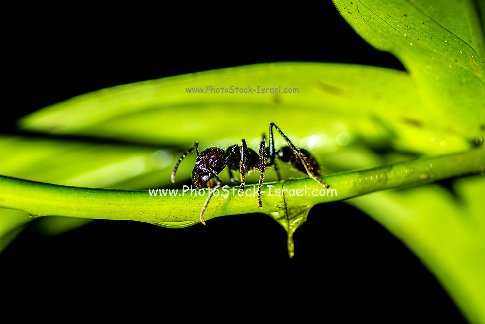 Bullet ant or Conga ant (Paraponera clavata). The sting is one of the most painful of any stinging insect. Some victims compared the pain to that of being shot, hence its name. Photographed in Costa Rica