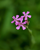 Small Pink Wildflowers. Image taken with a Fuji X-H1 camera and 80 mm f/2.8 macro lens