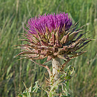 A Thistle blooms in Montana's Gallatin Valley.