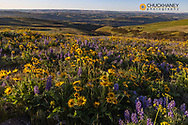Spring wildflowers in full bloom on Dalles Mountain in Columbia Hills State Park near Lyle, Washington, USA