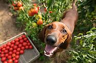 Farmdog looking up at camera in grennhous