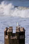 Lone Herring Gull seagull, Larus argentatus, on turret vantage point overlooking the sea at Woolacombe, North Devon, UK