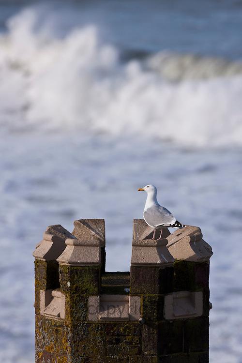 Lone Herring Gull seagull, Larus argentatus, on turret vantage point overlooking the sea at Woolacombe, North Devon, UK
