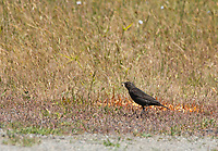 Female Red-winged Blackbird, Agelaius phoeniceus, eating some food that was spilled by a picnicker near Bodega Bay, California