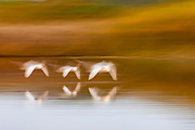 A motion-blur of white herons (Ardea alba) flying in to roost at sunset, Okavango Delta, Moremi, Botswana