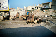 Sheep grazing on rubble strewn streets of Beirut, Lebanon in 1998