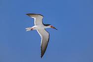 Black skimmer in flight, blue sky, Atlantic Coast,Florida, © David A. Ponton
