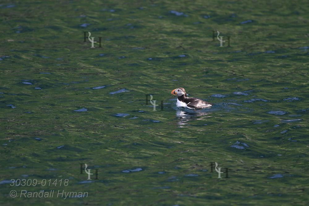 Puffin (Fratercula arctica) swims at sea; Gjesvaerstappan Island, Mageroya, Finnmark, Norway.