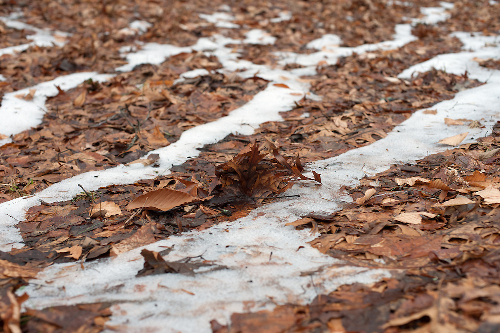 Dead Leaves on the Icy Ground, The Boston Arboretum, Massachusetts, 2013 Trees and park frozen, Boston, MA