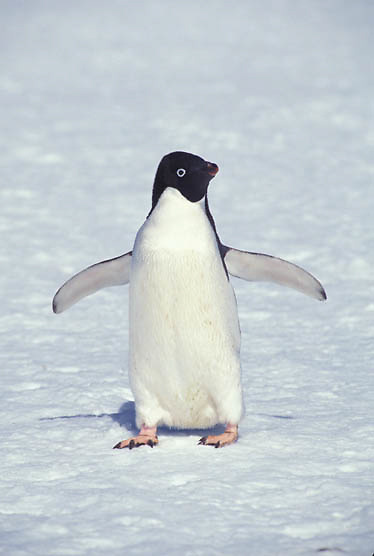 Adelie Penguin, (Pygoscelis adeliae) On Laurie Island. South Orkney Island chain. Antarctica.