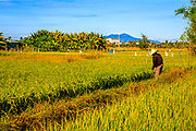 Hoi An Rice Farmer in his field inspecting his crops with a conical hat.