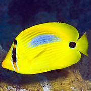 Blue Spot Butterflyfish inhabit reefs. Picture taken Fiji.