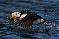 Horned takes off with grass (nesting materials) in its beak