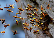 Hornets (Vespa crabro) entering and exiting nest in hollow pine tree (composite image). Surrey, UK.