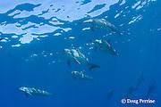 Hawaiian spinner dolphins or Gray's spinner dolphin, Stenella longirostris longirostris, Kona, Hawaii ( Big Island ), USA ( Central Pacific Ocean )