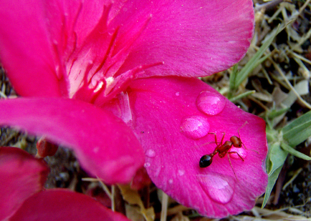 An ant drinks from a drop of water on a petal of an Oleander flower following a breif storm that hit Yuma early Wednesday morning.