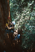 Genevieve Summers (right and below) takes a first time climber (left) up the Stagg Tree, a giant redwood, and the sixth largest tree in the world by mass.