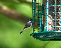 Black-capped Chickadee. Image taken with a Nikon D800 camera and 600 mm f/4 VR lens.
