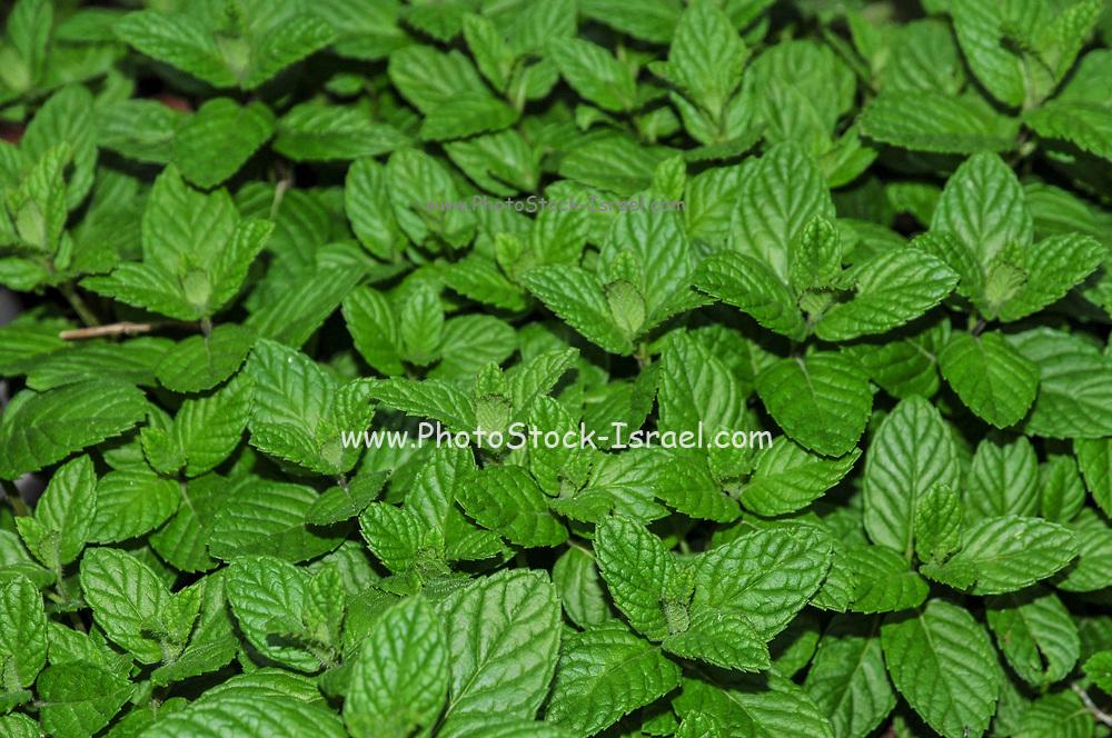 Home grown shrub of mint leaves (Mentha)