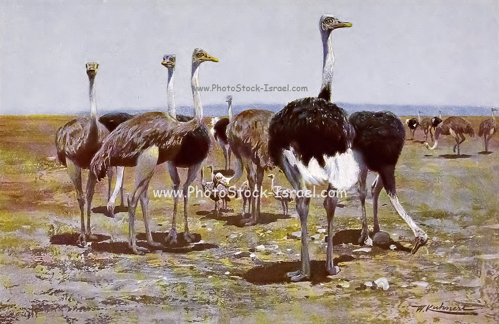 Somali ostrich (Struthio molybdophanes), also known as the blue-necked ostrich, is a large flightless bird native to the Horn of Africa from the book '  Animal portraiture ' by Richard Lydekker, and illustrated by Wilhelm Kuhnert, Published in London by Frederick Warne & Co. in 1912