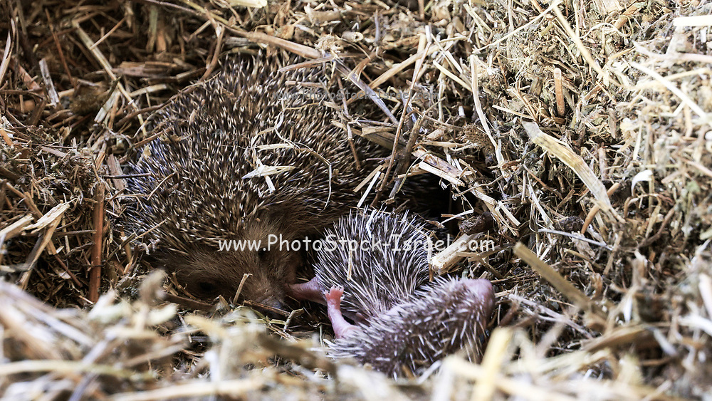 Female hedgehog with young. Southern white-breasted hedgehog (Erinaceus concolor) (AKA Eastern European Hedgehog) This hedgehog is an omnivore and has been known to eat a wide range of invertebrates , but prefers earthworms, slugs and snails. It will also eat frogs, small reptiles, young birds and mice, carrion, bird eggs, acorns and berries. it is mainly a nocturnal animal. Photographed, israel in April