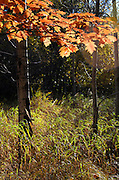 Autumn oak leaves lit from behind by morning sunlight along the Jesup Path, Acadia National Park, Maine.