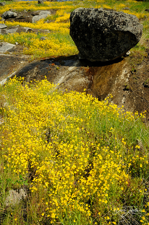 Wet seeps and yellow monkey flowers on rock face in the Lamar Valley, Yellowstone NP , Wyoming<br /> , USA
