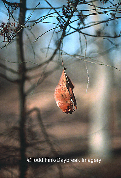 01825-001.04 (Dupe) (TF) Red Bat (Lasiurus borealis)    IL