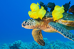 green sea turtle, Chelonia mydas, endangered species, being cleaned by yellow tang, Zebrasoma flavescens, and gold-ring surgeonfish, Ctenochaetus strigosus, endemic species, Kona Coast, Big Island, Hawaii, USA, Pacific Ocean
