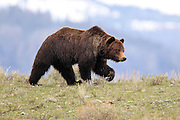 Boar Grizzly in open country