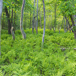 A silver maple flood plain forest next to the Merrimack River in Northfield, New Hampshire.