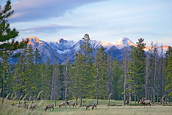 Elk herd in Banff National Park