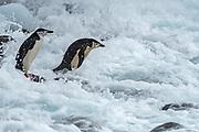 Chinstrap Penguin (Pygoscelis antarcticus) on Penguin Island, South Shetland Islands, Antartctica