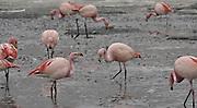 Andean Flamingo (Phoenicopterus andinus) photographed at The Eduardo Abaroa Andean Fauna National Reserve (Reserva Nacional de Fauna Andina Eduardo Abaroa REA), Bolivia