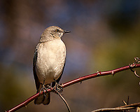 Northern Mockingbird on a Vine. Backyard Winter Nature in New Jersey. Image taken with a Nikon D2xs camera and 70-200 mm VR lens (ISO 100, 200 mm, f/2.8, 1/1000 sec)