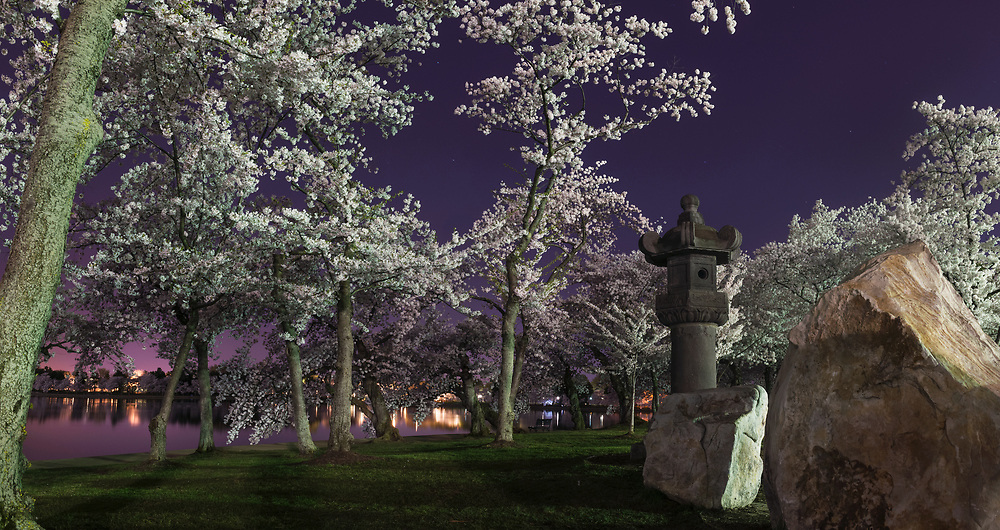 The cherry blossoms of Tidal Basin are seen in peak bloom in the early morning hours in Washington, D.C.