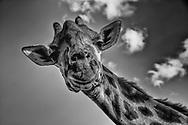 Towering giraffe glances over to say howdy in the Maasai Mara, Kenya.