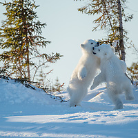 Two three-month-old polar bear cubs playing near their den in Wapusk National Park south of Churchill Manitoba Canada near the Hudson Bay.