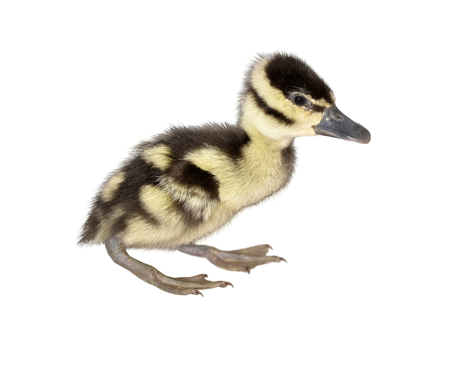 Black-bellied Whistling Duck - Dendrocygna autumnalis