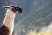 Llama atop Machu Picchu, Cusco Region, Urubamba Province, Machupicchu District in Peru, South America