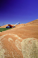 A 28.2 MG FILE FROM FILM OF:.  A farm truck dumping harvest into a pile in Kansas. Photo by Dennis Brack