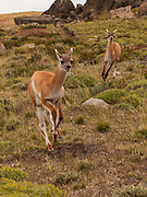 Guanaco (Lama guanicoe)  youngsters racing, Parque Nacional Torres del Paine, Patagonia, Chile.