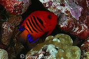 flame angelfish, Centropyge loriculus, Bay of Wrecks, Christmas Island, Line Islands, Republic of Kiribati (Pacific)