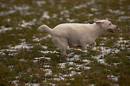 Lure Coursing in Freeville, NY, November 8, 2014