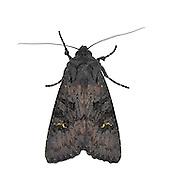 73.233 (2232)<br /> Black Rustic - Aporophyla nigra