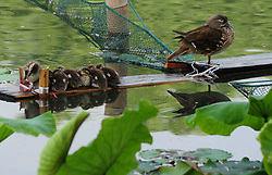 May 25, 2017 - Hangzhou, Hangzhou, China - Hangzhou, CHINA-May 25 2017: (EDITORIAL USE ONLY. CHINA OUT) ..A mother mandarin duck and seven little mandarin ducks can be seen at West Lake in Hangzhou, east China's Zhejiang Province, May 25th, 2017. (Credit Image: © SIPA Asia via ZUMA Wire)