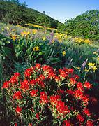 Paintbrush and Oaks,Tom McCall Nature Preserve,Columbia River Gorge NSA, Oregon