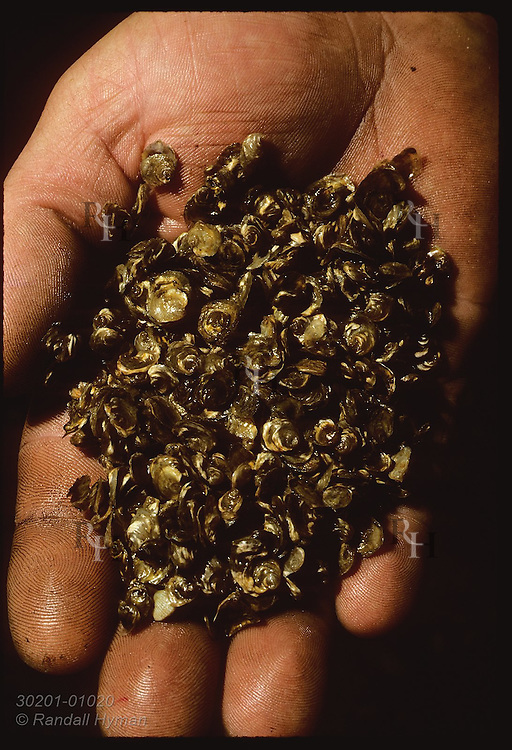 Handful of hope: 2-mo-old flat oysters raised @ Varloteaux hatchery in the Morbihan. France